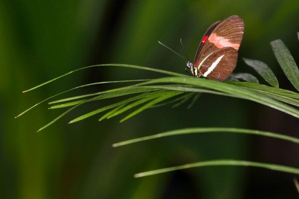 Rood oogje, vlindertuin Antwerpen Zoo