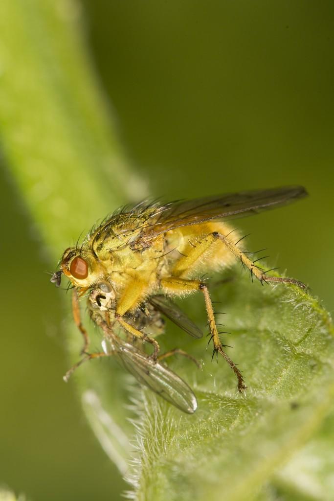 vlieg, vliegend insect, insect, natuurfotografie, macrofotografie, Rosco Pas, Nature in Focus, natuurfotograaf
