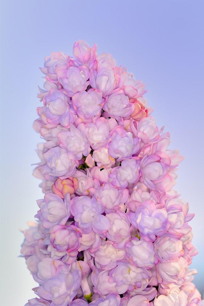 blauwe regen, bloem, fotografie, natuurfotografie, macrofotografie, foto, foto bloem, Rosco Pas, Rosco Pas Fotografie, natuurfotograaf