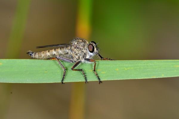 daas, vliegend insect, insect, natuurfotografie, macrofotografie, Rosco Pas, Nature in Focus, natuurfotograaf