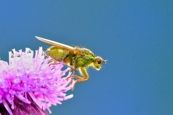 drekblieg, vliegend insect, insect, natuurfotografie, macrofotografie, Rosco Pas, Nature in Focus, natuurfotograaf