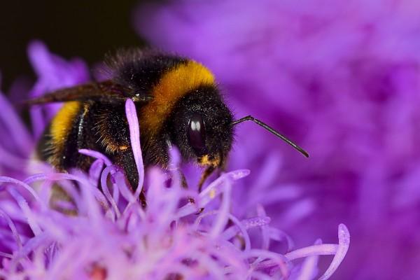 hommel, hommel met stuifmeel, stuifmeel, vliegend insect, insect, natuurfotografie, macrofotografie, Rosco Pas, Nature in Focus, natuurfotograaf