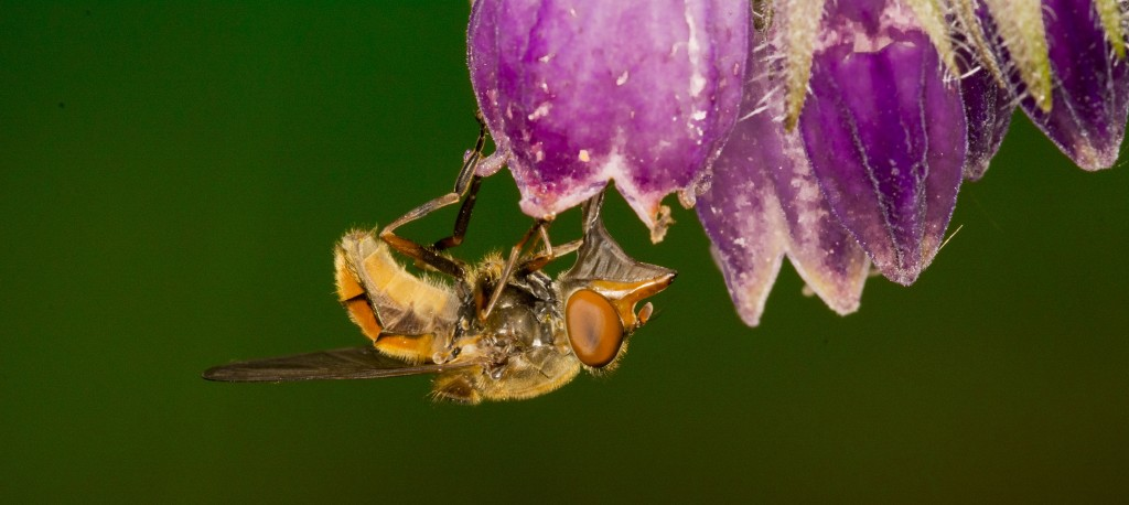 snuitvlieg, vlieg, vliegend insect, insect, natuurfotografie, macrofotografie, Rosco Pas, Nature in Focus, natuurfotograaf