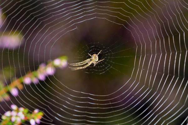 spin, spinnenweb, spin in spinnenweb, macrofotografie, natuurfotografie, natuur, insecten, Rosco Pas, Nature in focus, fotograaf, natuurfotograaf