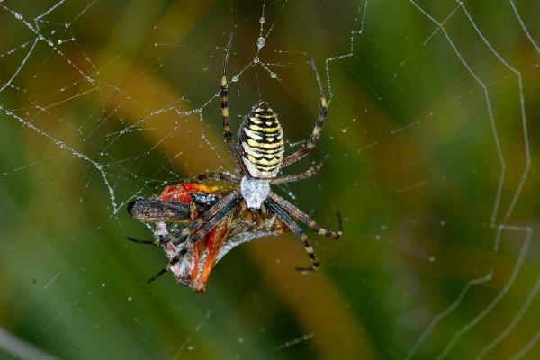 tijgerspin, macrofotografie, natuurfotografie, natuur, insecten, Rosco Pas, Nature in focus, fotograaf, natuurfotograaf, spin