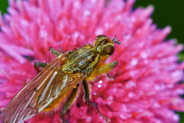 vlieg, vlieg op bloem, vliegend insect, insect, natuurfotografie, macrofotografie, Rosco Pas, Nature in Focus, natuurfotograaf