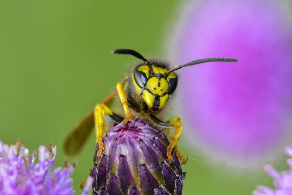 wesp, wesp op distel, vliegend insect, insect, natuurfotografie, macrofotografie, Rosco Pas, Nature in Focus, natuurfotograaf