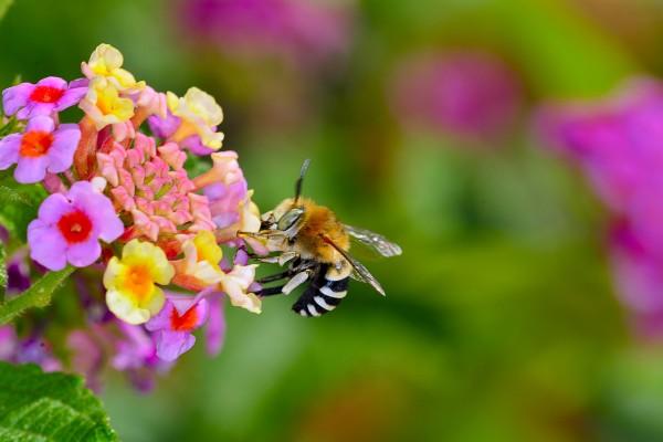 snuitbij, bij, bij op bloem, vliegend insect, insect, natuurfotografie, macrofotografie, Rosco Pas, Nature in Focus, natuurfotograaf