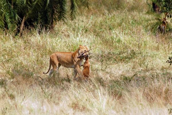 leeuw, leeuw met prooi, Afrika, Tanzania, natuurfotografie, wildlife fotografie, dierenfotografie, natuur, wildlife, dieren, Rosco Pas, Nature in focus, fotograaf, natuurfotograaf