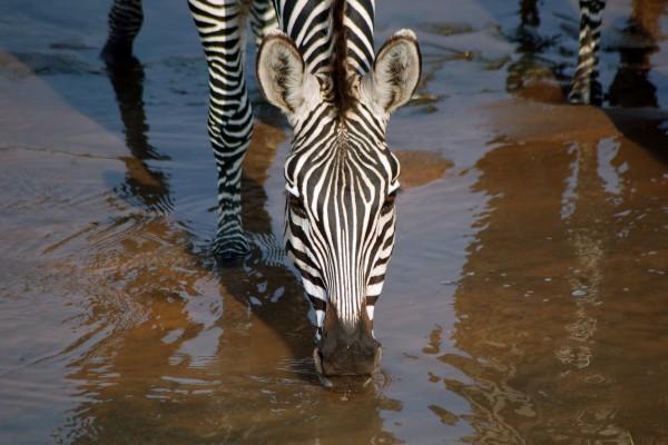 zebra, Afrika, Tanzania, natuurfotografie, wildlife fotografie, dierenfotografie, natuur, wildlife, dieren, Rosco Pas, Nature in focus, fotograaf, natuurfotograaf