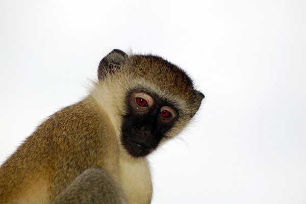 aap, Afrika, Tanzania, natuurfotografie, wildlife fotografie, dierenfotografie, natuur, wildlife, dieren, Rosco Pas, Nature in focus, fotograaf, natuurfotograaf
