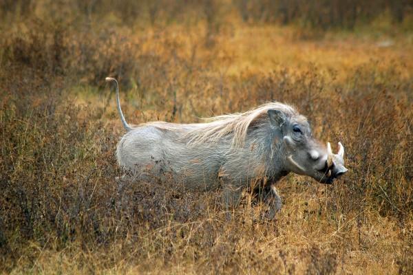 poemba, wrattenzwijn, Afrika, Tanzania, natuurfotografie, wildlife fotografie, dierenfotografie, natuur, wildlife, dieren, Rosco Pas, Nature in focus, fotograaf, natuurfotograaf