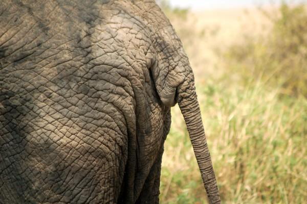 olifant, kont olifant, olifantenkont, staart, Afrika, Tanzania, natuurfotografie, wildlife fotografie, dierenfotografie, natuur, wildlife, dieren, Rosco Pas, Nature in focus, fotograaf, natuurfotograaf