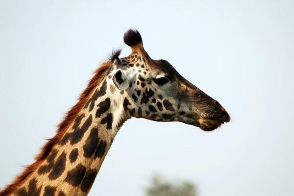 giraf, Afrika, Tanzania, natuurfotografie, wildlife fotografie, dierenfotografie, natuur, wildlife, dieren, Rosco Pas, Nature in focus, fotograaf, natuurfotograaf