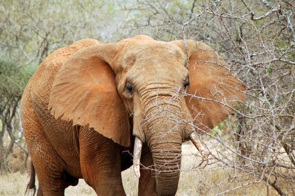 olifant, Afrika, Tanzania, natuurfotografie, wildlife fotografie, dierenfotografie, natuur, wildlife, dieren, Rosco Pas, Nature in focus, fotograaf, natuurfotograaf