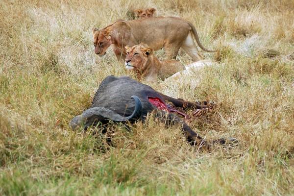 leeuwen, bizon, prooi, leeuwen bij prooi, Afrika, Tanzania, natuurfotografie, wildlife fotografie, dierenfotografie, natuur, wildlife, dieren, Rosco Pas, Nature in focus, fotograaf, natuurfotograaf