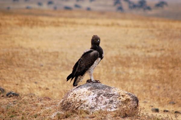 roofvogel, Afrika, Tanzania, natuurfotografie, wildlife fotografie, dierenfotografie, natuur, wildlife, dieren, Rosco Pas, Nature in focus, fotograaf, natuurfotograaf