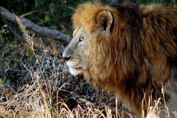 leeuw, Afrika, Tanzania, natuurfotografie, wildlife fotografie, dierenfotografie, natuur, wildlife, dieren, Rosco Pas, Nature in focus, fotograaf, natuurfotograaf