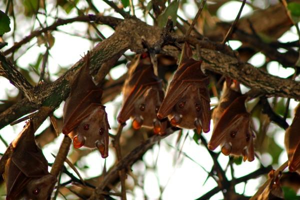 vleermuizen, Afrika, Tanzania, natuurfotografie, wildlife fotografie, dierenfotografie, natuur, wildlife, dieren, Rosco Pas, Nature in focus, fotograaf, natuurfotograaf