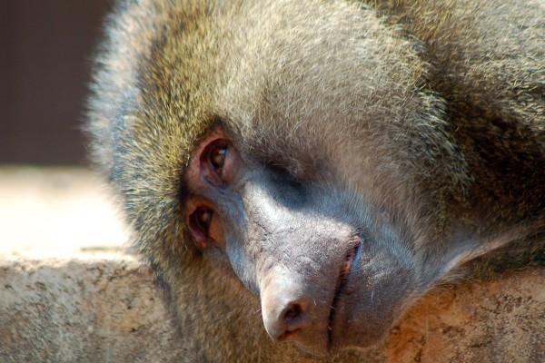 aap, rusten, rustende aap, Afrika, Tanzania, natuurfotografie, wildlife fotografie, dierenfotografie, natuur, wildlife, dieren, Rosco Pas, Nature in focus, fotograaf, natuurfotograaf