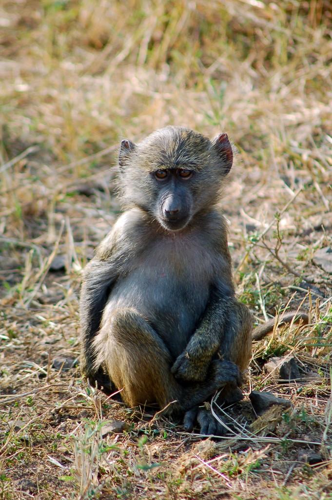 aapje, Afrika, Tanzania, natuurfotografie, wildlife fotografie, dierenfotografie, natuur, wildlife, dieren, Rosco Pas, Nature in focus, fotograaf, natuurfotograaf