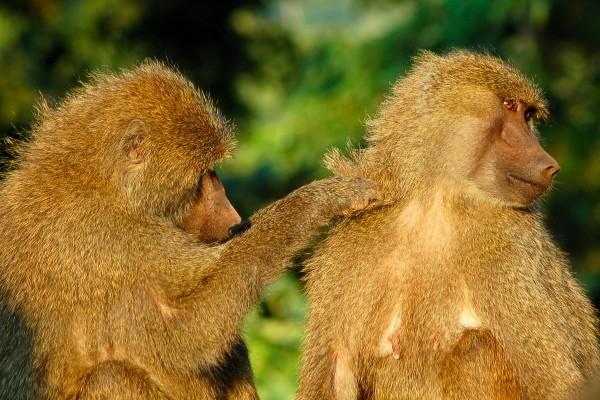 apen, vlooien, vlooiende apen, Afrika, Tanzania, natuurfotografie, wildlife fotografie, dierenfotografie, natuur, wildlife, dieren, Rosco Pas, Nature in focus, fotograaf, natuurfotograaf