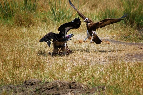roofvogels, prooi, Afrika, Tanzania, natuurfotografie, wildlife fotografie, dierenfotografie, natuur, wildlife, dieren, Rosco Pas, Nature in focus, fotograaf, natuurfotograaf