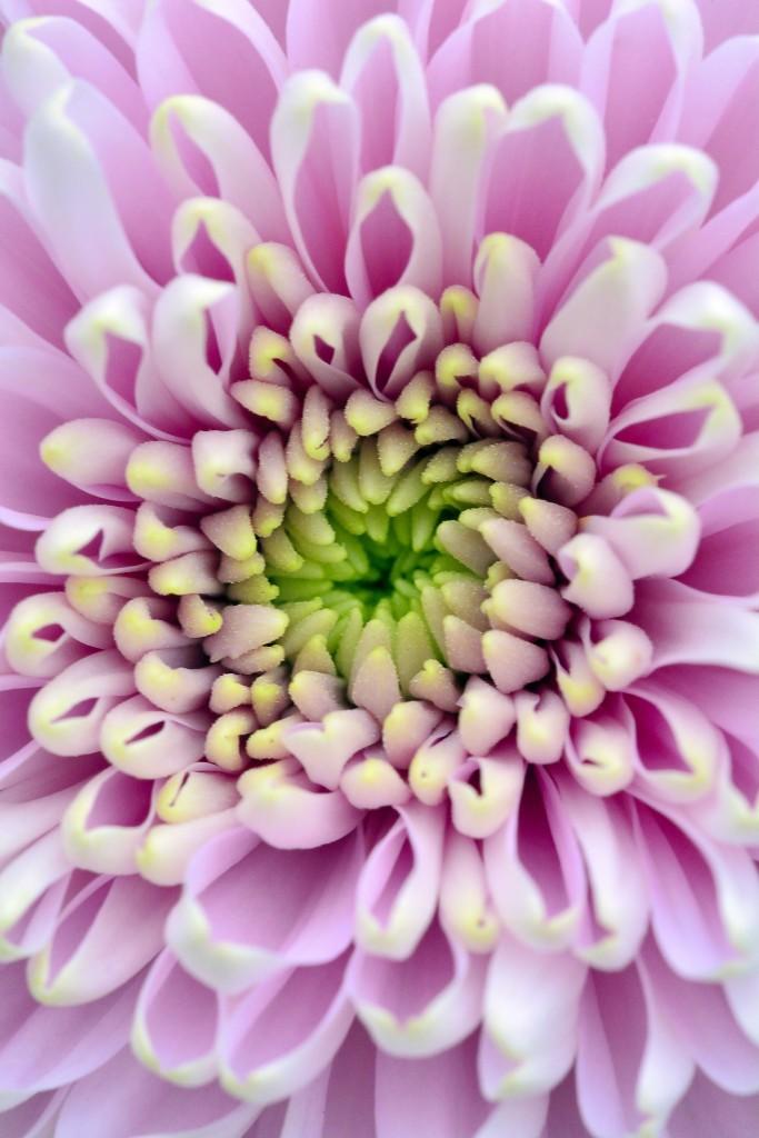 aster, bloem, fotografie, natuurfotografie, macrofotografie, foto, foto bloem, Rosco Pas, Rosco Pas Fotografie, natuurfotograaf