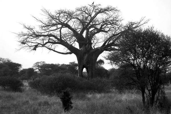 baobab, baobab boom, Afrika, Tanzania, natuurfotografie, landschapsfotografie, natuur, landschap, Rosco Pas, Nature in focus, fotograaf, natuurfotograaf