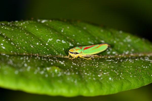 cicade, macrofotografie, natuurfotografie, natuur, insecten, Rosco Pas, Nature in focus, fotograaf, natuurfotograaf