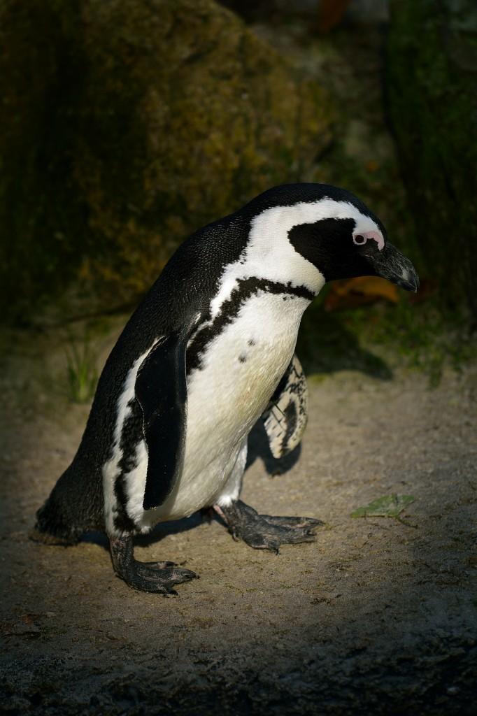 pinguïn, dierentuin, natuurfotografie, wildlife fotografie, dierenfotografie, natuur, wildlife, dieren, Rosco Pas, Nature in focus, fotograaf, natuurfotograaf