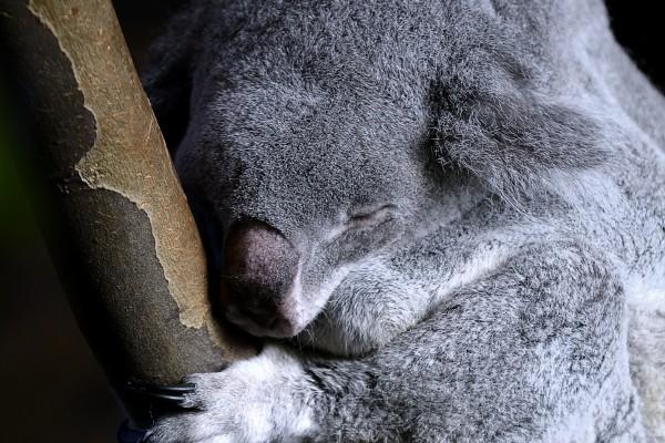 koala, dierentuin, natuurfotografie, wildlife fotografie, dierenfotografie, natuur, wildlife, dieren, Rosco Pas, Nature in focus, fotograaf, natuurfotograaf