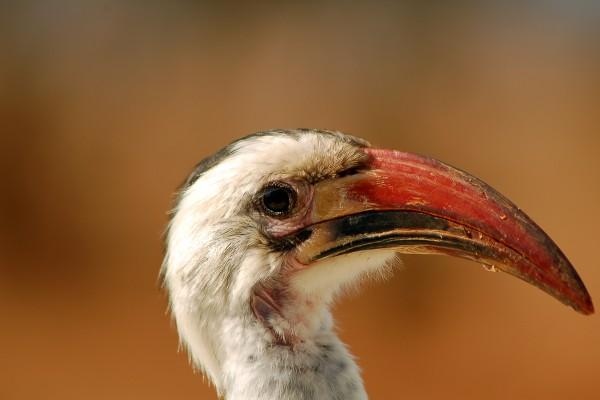 zazu, vogel, Afrika, Tanzania, natuurfotografie, wildlife fotografie, dierenfotografie, natuur, wildlife, dieren, Rosco Pas, Nature in focus, fotograaf, natuurfotograaf